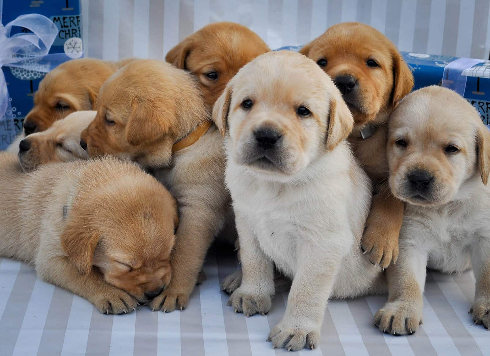 This image shows 8 beautiful yellow labrador puppies from the first litter born through our program.