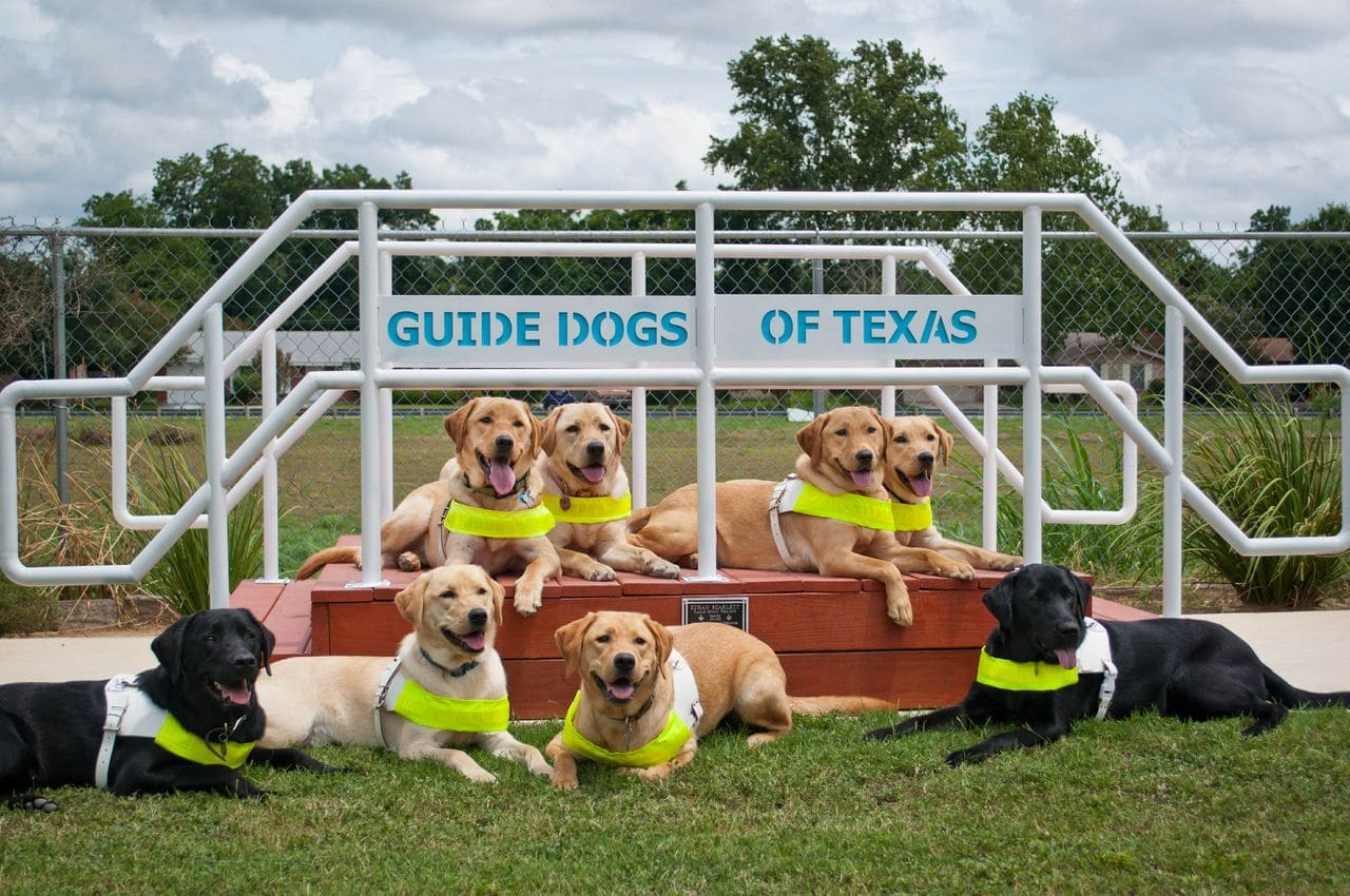 This image shows 8 smiling guide dogs posing on and in front of training obstacle steps. Above them is a sign that says 'Guide Dogs of Texas'.